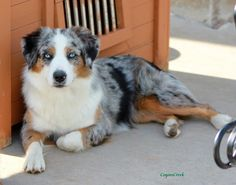 Miniature American Shepherd & Mini Aussie Puppies at Coyote Creek | CHIC Health Tested / Located in KS