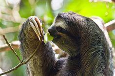 three-toed sloth!