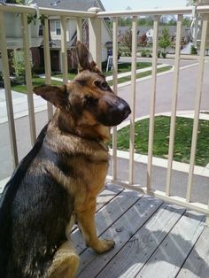 ADOPTED Maximus - strong, proud and loyal.  Wonderful watch dog and a true German Shepherd to the core!