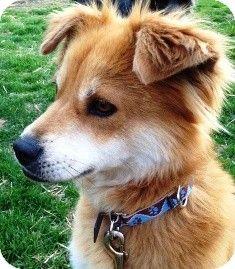 Ellie | Adopted Dog | Osseo, MN | Sheltie, Shetland Sheepdog/Shiba Inu Mix