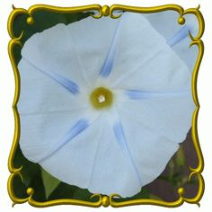 Klisaz Shop (Unique acessories and rare seeds): Jual bibit / benih / seeds morning glory blue star...