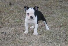 boston terriers -