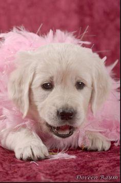 Shabby Chic Girly Girl White English Cream Creme Golden Retriever Puppy.