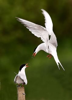 """Common terns will fight amongst themselves for the choicest nest sites and engage in a charming courtship display."" Find out more: Wildlife of the North Atlantic; www.bradtguides.com"