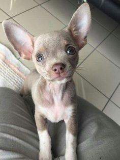 8 Chihuahua Dog Breeds That Will Melt Your Heart Do you love chihuahuas? Learn about the different types of Chihuahua breeds through pictures of 8 Chihuahua dogs including the long haired Chihuahua, teacup Chihuahua & more. Chihuahua Breeds, Baby Chihuahua, Dog Breeds, Long Hair Chihuahua, Chihuahua Mix Puppies, Havanese Dogs, Cute Puppies, Cute Dogs, Dogs And Puppies