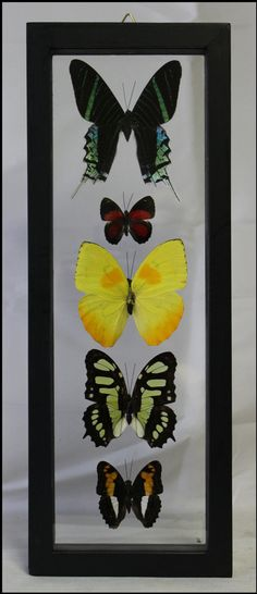 Five Specie Butterfly Frame Wall Art Gifts for Home Birthday Gifts Trendy Office Décor Wedding Gifts Wall Décor by timelessdesigns07 on Etsy