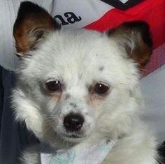 Hund, Chihuahua (Mischling, Hündin, 8 Monate) Spanien