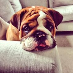 English Bulldog Pup ~ Classic Look