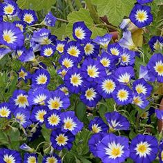 Dwarf Morning Glory Royal Ensign Mounding, Annual USDA Zones: 3 - 10 Height: 8 inches Bloom Season: Spring to late summer Bloom Color: Deep blue Environment: Full sun to partial shade...