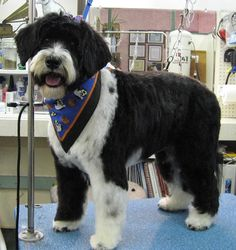 grooming a portuguese water dog - Google Search Big Puppies, Portuguese Water Dog, Spaniels, Puppy Love, Google Search, Pets, Animals, Animales, Animaux