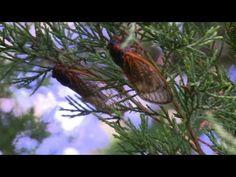 Zikaden-Invasion in den USA: Flirr! Sirr! Zirp! | traveLink.