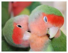 Rosy-faced Lovebirds -Twitter / @Mina Lovebird