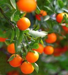 Citrus reticulata - mandarin tree - fruit-trees seeds