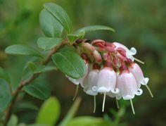 Tyttebær (Vaccinium vitis-idaea)