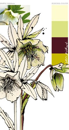 Seasonal Color: Hellebore
