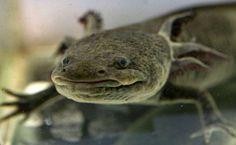 """AJOLOTE Este milenario animal sólo existe en cautiverio actualmente. Originarios de los lagos de México, los ajolotes son popularmente conocidos como """"peces caminantes"""", aunque en realidad son anfibios con una curiosa característica: al llegar a su etapa adulta permanecen en el agua, en lugar de desarrollar pulmones y salir a tierra como es natural en esta clase de vertebrados. Se alimentan al succionar plankton y cuentan con genes de pigmentación que pueden darles cuatro tonalidades de…"""