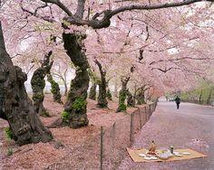 Cherry trees (?)