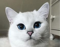 Coby is a beautiful cat. He is a white British Shorthair with the most beautiful blue eyes in the world. Now, I know blue eyes. I'm married to a man with t
