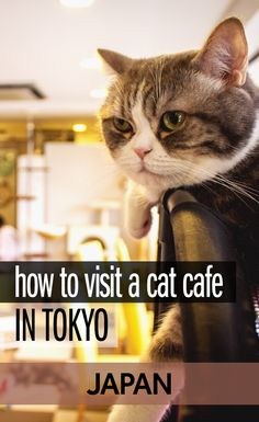 They may have spread across the world but the original cat cafes started here in Tokyo, Japan. If you're looking for weird things to do in Tokyo, visiting a cat café is a great idea. Here's where you'll find one of the best cat cafes in Japan and what it is like to visit.