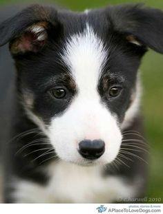 Border collie baby...adorable!