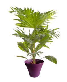 Palmier livistona avec cache pot violet