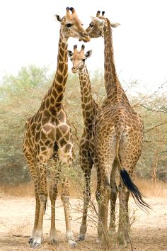 senerii:  senerii: Girafes / by ~servale
