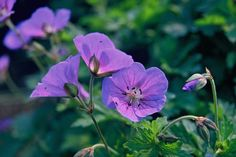 Top 12 langbloeiende vaste planten