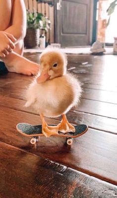 Cute Animal Memes, Cute Animal Photos, Animal Pics, Skateboard, Cute Ducklings, Baby Ducks, Little Duck, Cute Little Animals, Fauna
