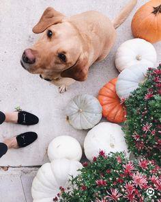 The Midwest Wife   A Life + Style Blog Autumn, pumpkins, yellow lab, blogger, black slides, mums, front porch decor, Labrador retriever