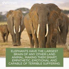 Elephant brains