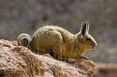 Bolivian Viscacha.  The viscacha looks for all the world like a rabbit with a lovely, long, furry tail. It belongs to the Chinchillidae family.