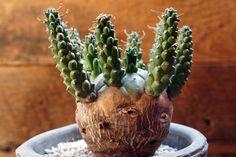 Euphorbia gamkensis ユーフォルビア・ガムケンシス
