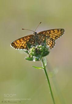 Melitaea athalia by arttu #nature #photooftheday #amazing #picoftheday