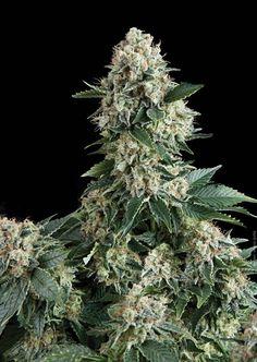 Auto New York City сделали популярными его тяжелые, тугие и неимоверно смолистые бутоны. Автоцвет жадно соединил в себе лучшие качества знаменитых родственников. Рекордная урожайность, очаровательный внешний вид и стремительный эффект сделали сорт товаром номер один на современном рынке марихуаны.