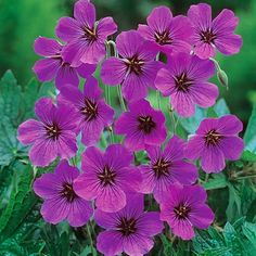"Geranium 'Patricia', Zones 3-8,   24-36"" tall x 24-30"" wide, Full Sun, Half Sun / Half Shade, blooms early to late summer"