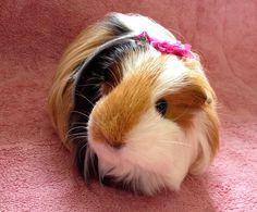 cute guinea pig Fluffy