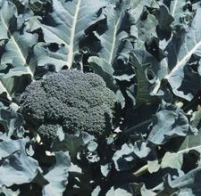 how to grow broccoli... harvest, use paper towel rolls to keep cut worms off, and more