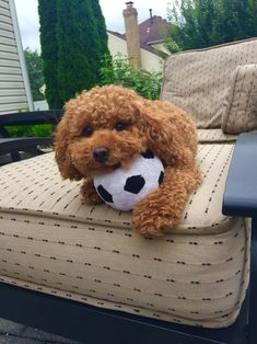 Red teddy bear poodle. Yes it's a poodle! ❤️❤️