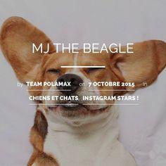 Le #chien le plus fun d'instagram est sur notre blog aujourd'hui et en plus il vit à #toulouse alors on est fan de @mj_the_beagle à voir sur le blog @polamax www.polamax.fr  @harlowandsage @toulousefr http://ift.tt/1JSx1RO