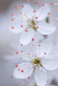 Todos os tamanhos | Dreamy blossom | Flickr – Compartilhamento de fotos!