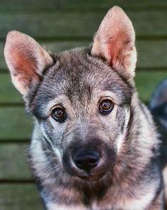 LoVe this face! Beautiful dog! Unique.