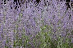 Russian Sage Care: Tips For Growing Russian Sage Plant - Admired for its silvery gray, fragrant foliage as much as its lavender-purple flowers, Russian sage makes a bold statement in the garden. Learn how to grow and care for Russian sage in this article. Petunias, Russian Sage, Low Maintenance Plants, Plantar, Salvia, Plantation, Drought Tolerant, Garden Planning, Purple Flowers