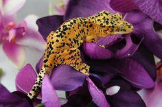 from Scaredy Cat Geckos #crestedgecko