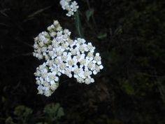 Tam, kde už je vše ztraceno, pomůže řebříček! Korn, Dandelion, Herbs, Flowers, Plants, Turmeric, Dandelions, Herb, Plant