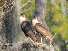 Crested Caracara!!! Bebe'!!! This is a pair found in Florida!!!
