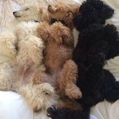 My bouquet of poodles Fluffy Animals, Animals And Pets, Cute Animals, Mini Poodles, Poodle Mix, Goldendoodle, Boxers, Dog Mom, I Love Dogs