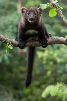 North American Fisher - Martes pennanti with distinct white spot on belly Creepy Animals, Funny Animals, Cute Animals, Wild Animals Pictures, Cute Animal Pictures, Fisher Cat Pictures, Fisher Animal, North American Animals, Most Beautiful Animals