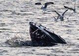 Virginia Beach Winter Whales: A humpback whale surfaces off the Virginia Beach coastline.