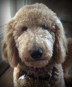 standard poodle, ted