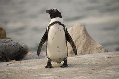 I simpatici pinguini del Capo a Boulder's Beach...